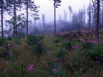 Foggy weather in forest Royalty Free Stock Image