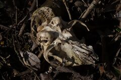 skull of some little animal on ground in foliage