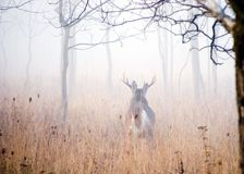 Foggy Whitetail Deer Buck Stock Photo