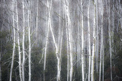Foggy winter forest background Stock Photo
