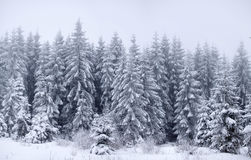 Foggy winter landscape with firs Royalty Free Stock Image