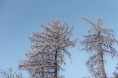 foggy winter landscape - frosty trees in snowy forest Royalty Free Stock Photos