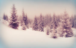 Foggy winter scene in the mountain forest. Royalty Free Stock Photo