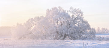 Winter trees. Snow and frost Stock Photo