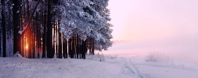 Winter sunlight. Forest with snow Stock Images