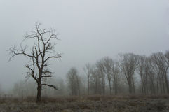 Foggy winter trees. Leafless tree silhouette against a foggy grey sky Stock Photography