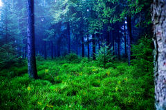 Foggy woods Royalty Free Stock Photo