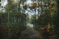 Foggy Woods with Autumn path Stock Photo