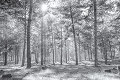 Foggy woods in black and white Stock Photos