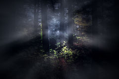 Foggy woods at dawn Royalty Free Stock Photos