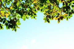 Fogli arancioni e verdi di autunno sulla priorità bassa del cielo Immagini Stock