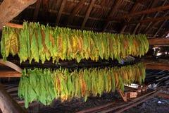 Fogli asciutti del tabacco Fotografia Stock Libera da Diritti