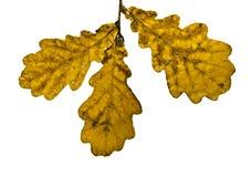 Fogli asciutti della quercia isolati su bianco Fotografia Stock