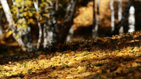 Fogli caduti della betulla Fotografia Stock Libera da Diritti
