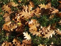 Fogli caduti della quercia Fotografie Stock