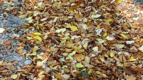 Fogli caduti sulla terra Foglie cadute autunno variopinto stock footage