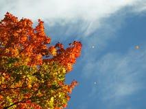 Fogli che cadono dall'albero di autunno Fotografie Stock Libere da Diritti