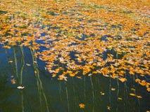 Fogli colorati della quercia su acqua immagine stock libera da diritti