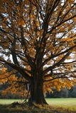 Fogli colorati della quercia sul prato di autunno Fotografia Stock