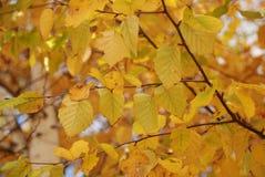 Fogli colore giallo/dell'arancio Fotografia Stock