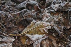 Fogli congelati del gelso Fotografia Stock
