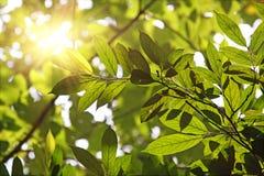 Fogli contro il sole di mattina Immagini Stock Libere da Diritti