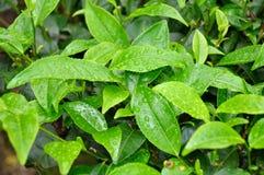Fogli dal giardino di tè India del sud Fotografie Stock Libere da Diritti