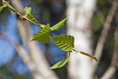 Fogli dei giovani della betulla (Betula Pendula Roth) Fotografia Stock