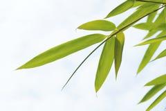 Fogli del bambù Fotografie Stock