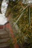 Fogli del bambù Fotografia Stock Libera da Diritti