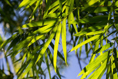 Fogli del bambù Fotografie Stock Libere da Diritti