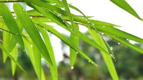 Fogli del bambù stock footage