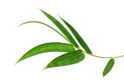 Fogli del bambù isolati su priorità bassa bianca Spazio, cinese immagini stock