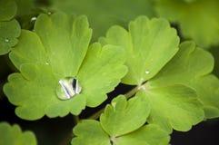 Fogli del Columbine con una goccia di pioggia Immagini Stock