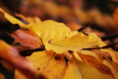 Fogli del faggio di autunno Fotografia Stock Libera da Diritti