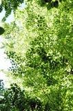 Fogli del faggio in primavera 2 Immagine Stock Libera da Diritti