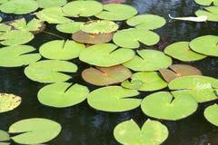 Fogli del giglio di acqua Fotografia Stock Libera da Diritti