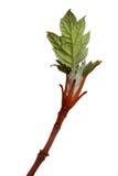 Fogli del Hydrangea Immagine Stock