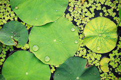 Fogli del loto Fotografia Stock