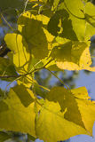 Fogli del pioppo di autunno fotografie stock libere da diritti