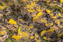 Fogli del pioppo giallo fotografia stock libera da diritti