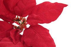 Fogli del Poinsettia immagine stock