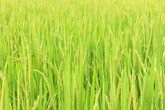 Fogli del riso Immagini Stock
