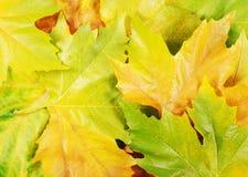 Fogli del sicomoro di autunno Immagine Stock