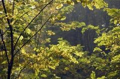 Fogli dell'acacia contro l'indicatore luminoso Immagini Stock Libere da Diritti