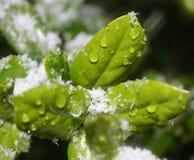 Fogli dell'agrifoglio della neve e del ghiaccio Fotografia Stock Libera da Diritti