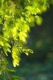 Fogli dell'albero Immagine Stock