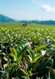 Fogli dell'albero del tè su una piantagione di tè fotografie stock libere da diritti