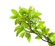 Fogli dell'albero di mango Fotografia Stock