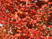 Fogli dell'albero di quercia rossa Fotografia Stock Libera da Diritti